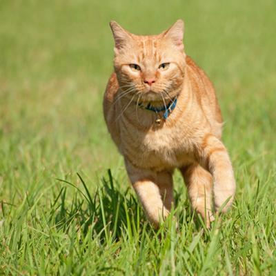 Orange Tabby Cat Running Fast Towards The Viewer In Green Grass by Sari ONeal
