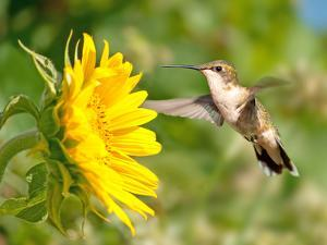 Ruby-Throated Hummingbird Hovering Next To A Bright Yellow Sunflower by Sari ONeal