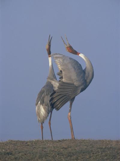 Sarus Cranes Pair Displaying, Unison Call, Keoladeo Ghana Np, Bharatpur, Rajasthan, India-Jean-pierre Zwaenepoel-Photographic Print