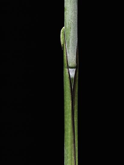 Sasa Kurilensis (Bamboo) - Shoot-Paul Starosta-Photographic Print