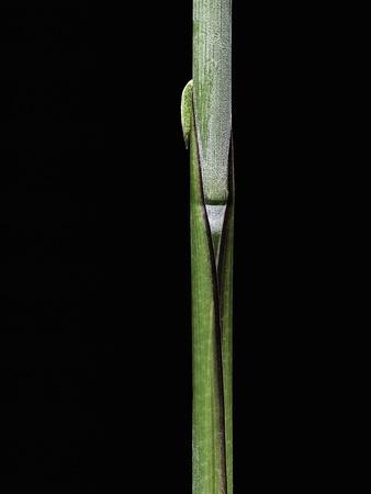 https://imgc.artprintimages.com/img/print/sasa-kurilensis-bamboo-shoot_u-l-pzqonh0.jpg?p=0