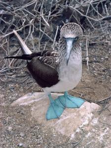 Blue Footed Booby, Galapagos Islands, Ecuador, South America by Sassoon Sybil
