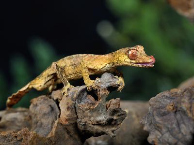 Satanic Leaf-Tailed Gecko (Uroplatus Phantasticus), Captive-Michael Kern-Photographic Print