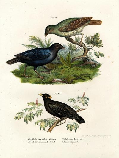 Satin Bower Bird, 1864--Giclee Print