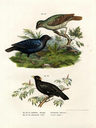 https://imgc.artprintimages.com/img/print/satin-bower-bird-1864_u-l-pvqh850.jpg?p=0