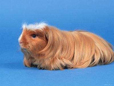 Satin Gold American Crested Coronet Guinea Pig-Petra Wegner-Photographic Print