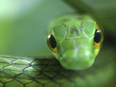 Satiny Parrot Snake Close Up, Costa Rica-Edwin Giesbers-Photographic Print
