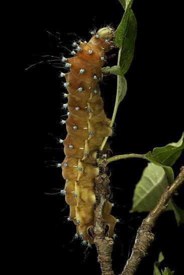 Saturnia Pyri (Giant Peacock Moth, Great Peacock Moth, Large Emperor Moth) - Caterpillar before Pup-Paul Starosta-Photographic Print