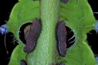 Saturnia Pyri (Giant Peacock Moth, Great Peacock Moth, Large Emperor Moth) - Caterpillar Prolegs-Paul Starosta-Photographic Print