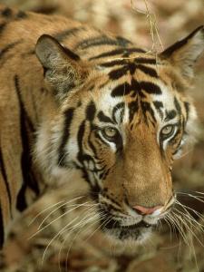 Tiger, Portrait, India by Satyendra K. Tiwari