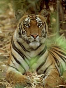 Tiger, Vertical Portrait, India by Satyendra K. Tiwari