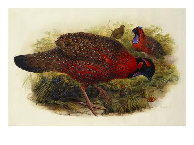 Satyr Tragopan (Ceriornis Satyra) Henry Constantine Richter (1821-1902)-Henry Constantine Richter-Giclee Print