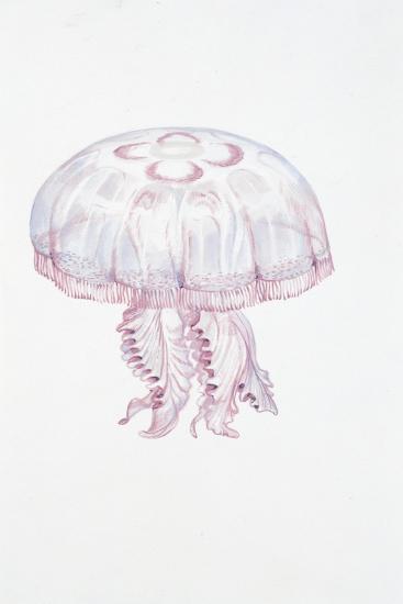 Saucer Jelly (Aurelia Aurita)--Giclee Print