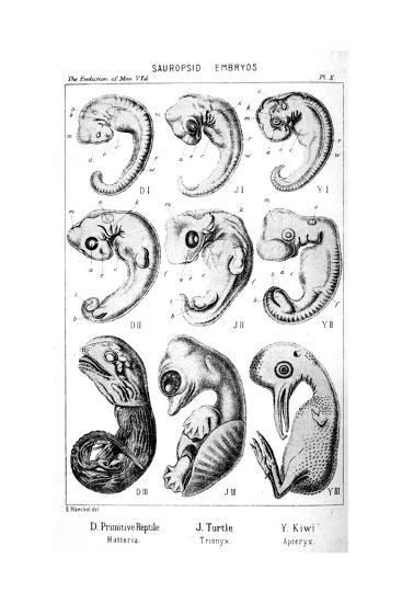 Sauropsid Embryos, 1910-Ernst Heinrich Philipp August Haeckel-Giclee Print