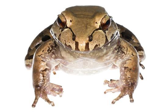 Savage'S Thin-Toed Frog (Leptodactylus Savagei) Isla Colon, Panama. Meetyourneighbours.Net Project-Jp Lawrence-Photographic Print