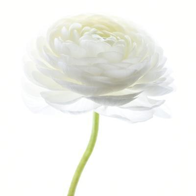Flower still life with white background (ranunculus flower)