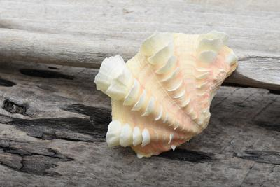 Ruffled Clam shell - Tridacna Squamosa