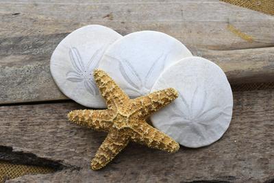 Sand dollar and starfish still-life