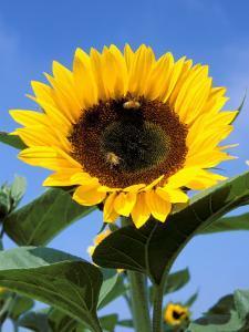 Sunflower with Bees, Santa Barbara, California, USA by Savanah Stewart
