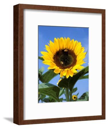 Sunflower with Bees, Santa Barbara, California, USA