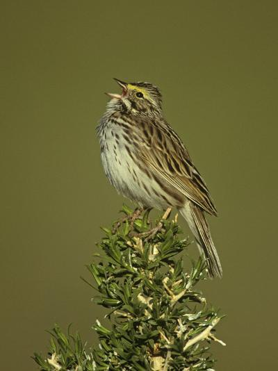Savannah Sparrow Singing, Passerculus Sandwichensis, Western USA-John & Barbara Gerlach-Photographic Print