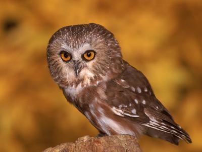 Saw-Whet Owl on Tree Stump-Russell Burden-Photographic Print