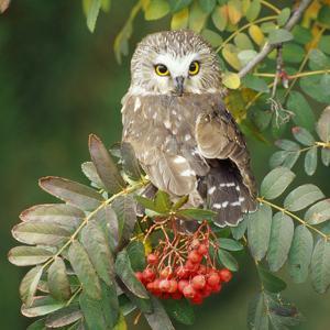 Saw-Whet Owl Perched in Rowan Tree