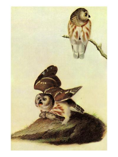 Saw Whet Owl-John James Audubon-Art Print