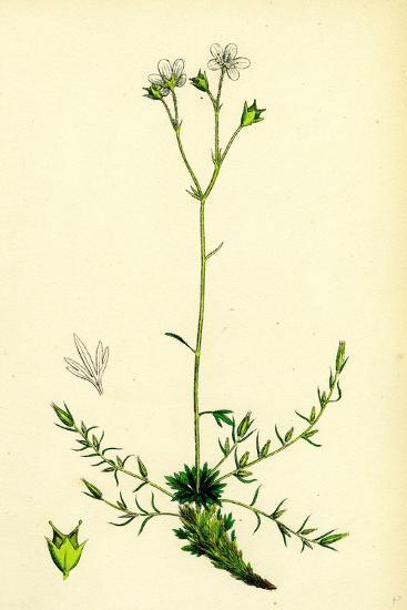 Saxifraga Eu-Hypnoides Var. Gemmifera Mossy Saxifrage Var. B--Giclee Print