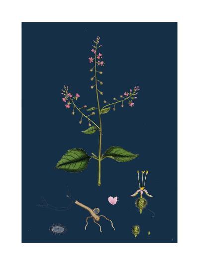 Saxifraga Granulata; White Meadow Saxifrage--Giclee Print