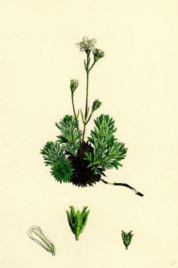 Saxifraga Hirta Var. Affinis Irish Mossy Saxifrage Var. Y--Giclee Print