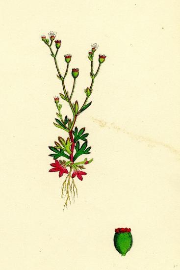 Saxifraga Tridactylites Rue-Leaved Saxifrage--Giclee Print