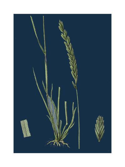 Saxifraga Tridactylites; Rue-Leaved Saxifrage--Giclee Print