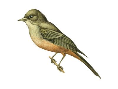 Say's Phoebe (Sayornis Saya), Birds-Encyclopaedia Britannica-Art Print