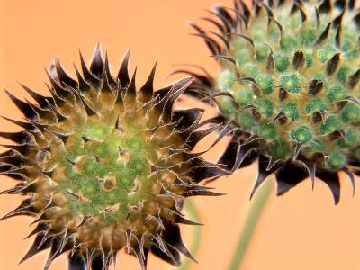 Scabiosa Ochroleuca, Close-up of Two Seedheads-Steven Knights-Photographic Print