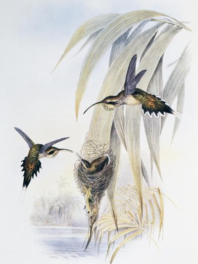 Scale-Throated Hermit (Phaethornis Eurynome)-John Gould-Giclee Print