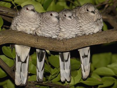 Scaled Dove (Columbina Squammata) Four Huddled Together on Branch, Brazil-Pete Oxford-Photographic Print