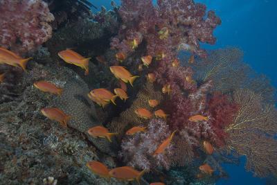 Scalefin Anthias Fish in Beqa Lagoon, Fiji-Stocktrek Images-Photographic Print