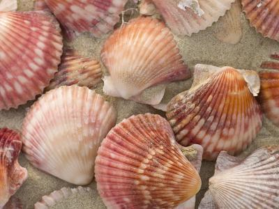 Scallop Shells on a Beach-Ralph Lee Hopkins-Photographic Print