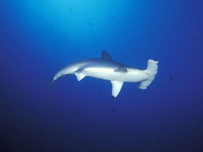 Scalloped Hammerhead Shark, Cocos Island, Costa Rica-Stuart Westmoreland-Photographic Print