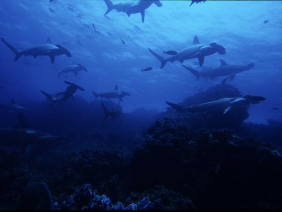 Scalloped Hammerhead Shark, Group, Galapagos-Gerard Soury-Photographic Print
