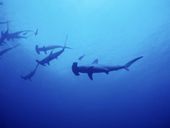 Scalloped Hammerhead Shark, Group, Red Sea-Gerard Soury-Photographic Print