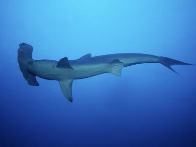 Scalloped Hammerhead Shark, Swimming, Costa Rica-Gerard Soury-Photographic Print