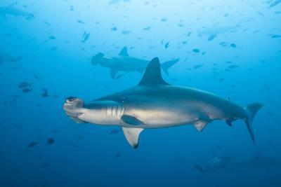 Scalloped Hammerhead Shark-Michele Westmorland-Photographic Print