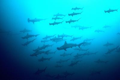 Scalloped Hammerhead Sharks Looking Up to See--Photographic Print