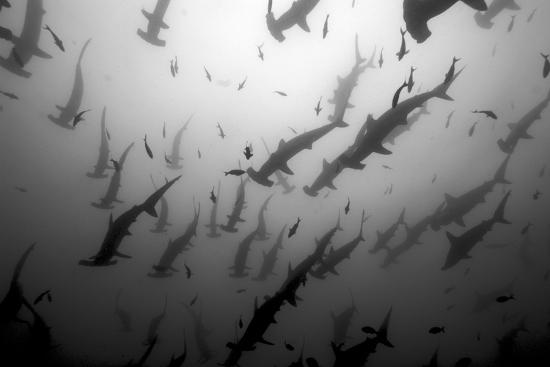 Scalloped Hammerhead Sharks, Sphyrna Lewini, Swimming Among Smaller Fish-Jeff Wildermuth-Photographic Print