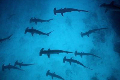 Scalloped Hammerhead Sharks These Sharks Congregate--Photographic Print