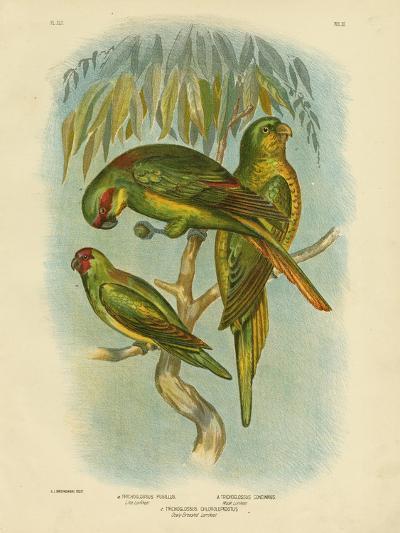 Scaly-Breasted Lorikeet, 1891-Gracius Broinowski-Giclee Print