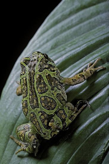 Scaphiophryne Madagascariensis (Madagascar Rain Frog)-Paul Starosta-Photographic Print