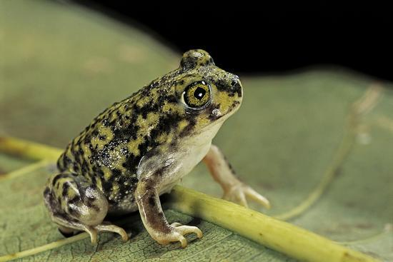 Scaphiopus Couchii (Couch's Spadefoot Toad)-Paul Starosta-Photographic Print